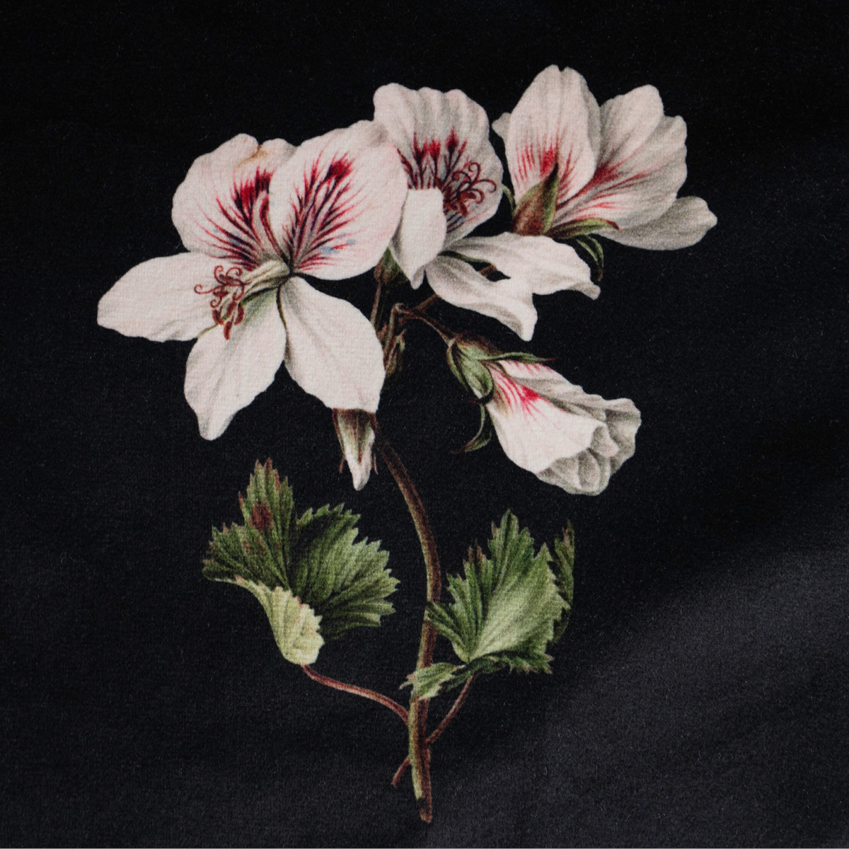 Pelargonium Velvet Cushion